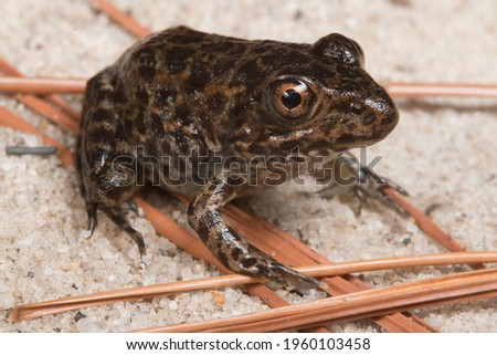 The Endangered Gopher Frog, Rana capito