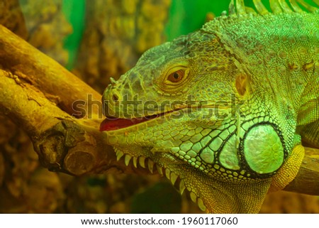Common green iguana with open mouth look at camera close-up Royalty-Free Stock Photo #1960117060