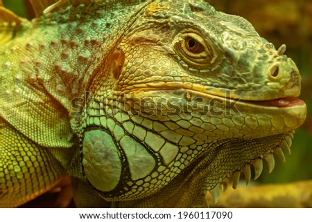 Common green iguana with tongue protruding looking at the camera close-up Royalty-Free Stock Photo #1960117090