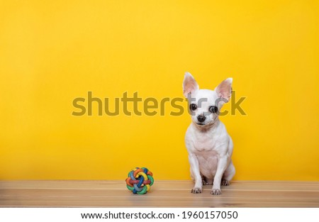 A white chihuahua dog sits next to a toy - a wicker rubber ball on a yellow background and looks attentively at the camera. Yellow background and wood textured floor in a photo studio