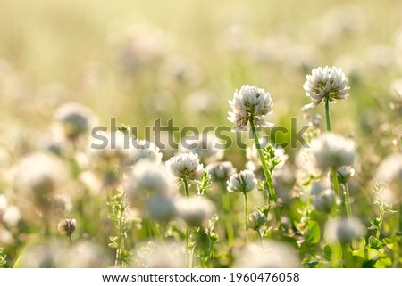 blooming white clover in the field