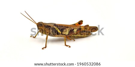A picture of a grasshopper on a white background