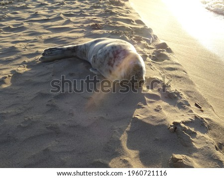 Beautiful cute sea lion seal. Natural wildlife shot. Seals resting on sand with ocean sea background. Wild animal in nature. High quality photo Royalty-Free Stock Photo #1960721116