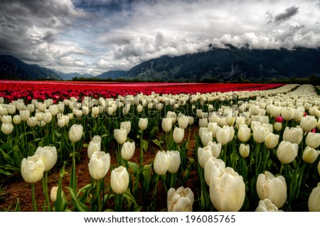 A myriad of incredibly bright cream and red colored tulips #196085765