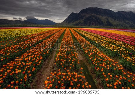 Parallel rows of colorful tulips converging in the distance with dark mountains #196085795