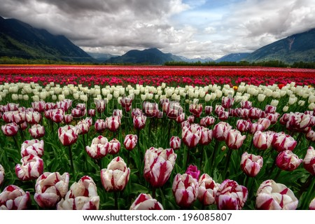 Majestically colorful tulip field with scenic mountains  #196085807