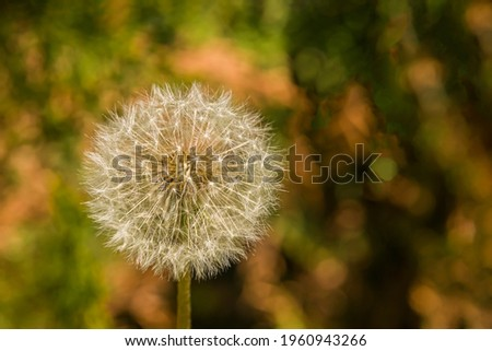 White dandelion. Macro photo. Ripe Dandelion in the green grass. Close-up. Ripe seeds and dandelion flower core. White ball of dandelion.