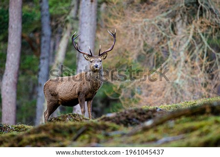 Red deer stag walking amongst the pine trees in Scotland Royalty-Free Stock Photo #1961045437