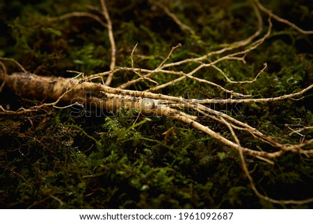 A root of wild ginseng on moss Royalty-Free Stock Photo #1961092687