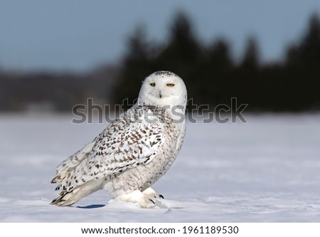 Snowy owl Bubo scandiacus standing in middle of a snow covered field in Ottawa, Canada Royalty-Free Stock Photo #1961189530