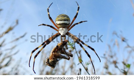 Spider wasp on a web with a caught insect outdoors on a sunny summer day, close-up. Macro of a spider with prey. Royalty-Free Stock Photo #1961318599