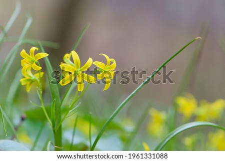 Gagea lutea, a yellow star of Bethlehem that blooms in spring. macro photography, bokeh. first flower in early spring. small yellow meadow flower close-up. natural background