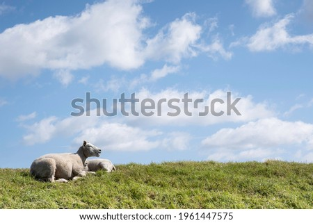 Ruminating white sheep with open mouth lies together with another sheep in the sunny green grass of a dike with a low horizon under a blue cloudy sky Royalty-Free Stock Photo #1961447575