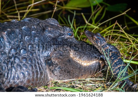 Young alligator going over the head of his mother Royalty-Free Stock Photo #1961624188
