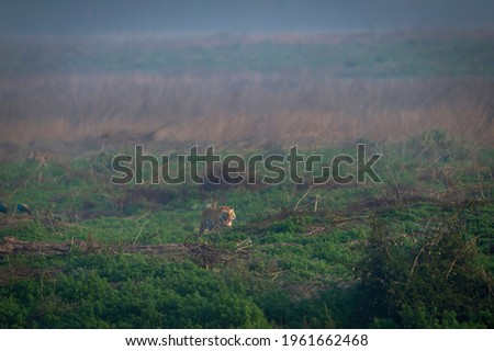 Wild royal bengal tiger on prowl in early morning blue hour light in mist and scenic landscape of dhikala zone at jim corbett national park or tiger reserve uttarakhand india - panthera tigris tigris Royalty-Free Stock Photo #1961662468