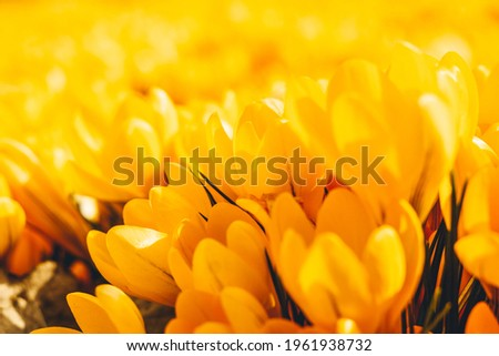 Yellow crocuses in the early spring. High quality photo Royalty-Free Stock Photo #1961938732