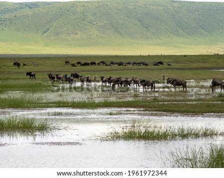 Ngorongoro Crater, Tanzania, Africa - March 1, 2020: Wildebeests migrating through water in Ngorongoro Crater