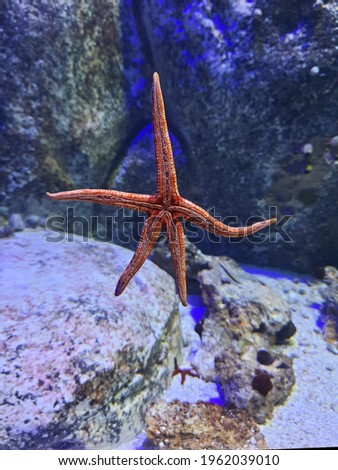 Starfish or sea stars are star-shaped echinoderms belonging to the class Asteroidea. Common usage frequently finds these names being also applied to ophiuroids, which are correctly referred t Royalty-Free Stock Photo #1962039010