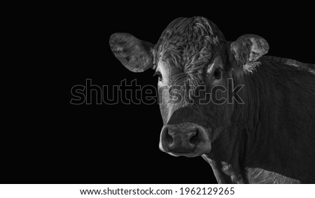 Black Cow Closeup Face In The Black Background Royalty-Free Stock Photo #1962129265