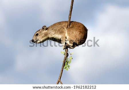 Bush Hyrax live in rocky outcrops with their larger cousins, the Rock Hyrax. They avoid competition as the former are browsers in the trees and the latter eats more grasses Royalty-Free Stock Photo #1962182212