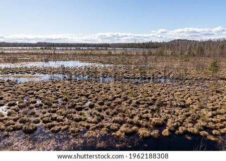 Sunny bright day at brown peat bog in Latvia. View from up to  damp earth of mesh of spongy moss at peat moor during early spring. Royalty-Free Stock Photo #1962188308