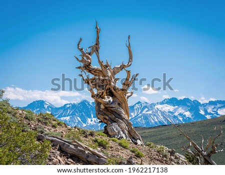 The Ancient Bristlecone Pine Forest is a protected area high in the White Mountains in Inyo County in eastern California. Royalty-Free Stock Photo #1962217138