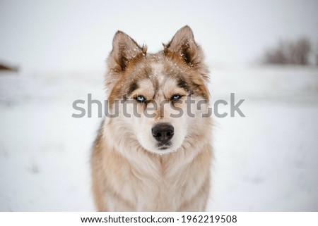 beautiful siberian husky standing dog beautiful animal loyal pretty furry and angry adorable wolf in the jungle new picture husky face white winter snow