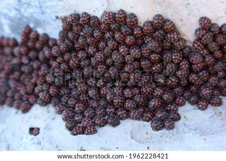 A cluster of ladybirds (ladybugs). This photo has selective focus.