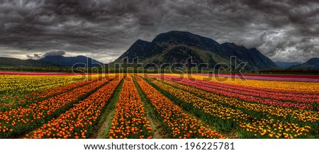 Panoramic photo of beautiful and bright converging rows of variously colored tulips with distant mountains #196225781