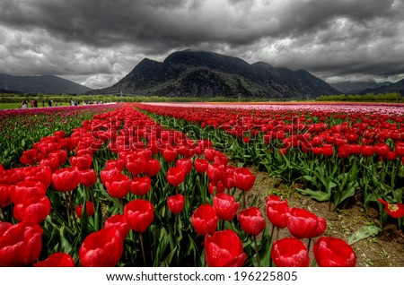 Rows of bright ruby red tulips with dark mountains and ominous clouds #196225805