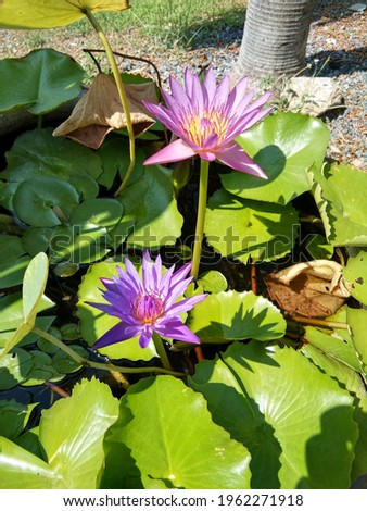 Long shot and top view picture of Green lotus leaf with bright pink lotus in the morning, Two pink lotus flowers, green lotus leaf in pots.