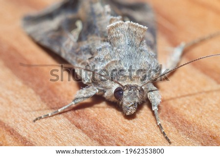 Grey moth head macro photography.