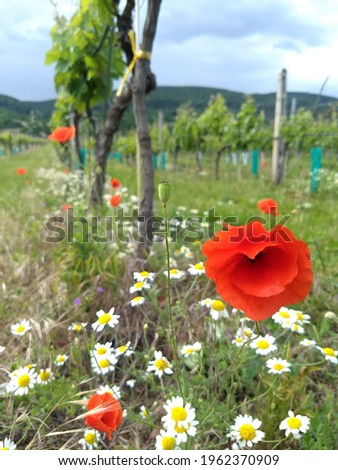 Stylized pictures of red poppies and flowers in spring, background is blurry wine yards and blurry daisy flowers, pebble, grass, selective focus on one flower