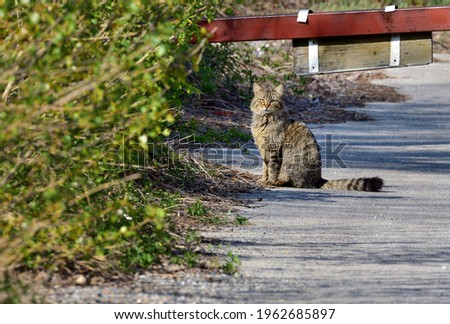 Telephoto photography of European Shorthair wildcat hunting small animals in the bushes. Royalty-Free Stock Photo #1962685897