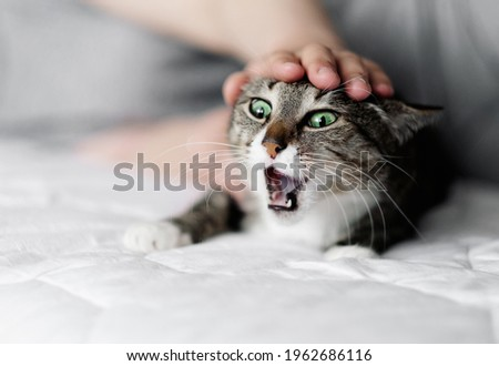 hand stroking a cat, cat and owner, aggressive fright cat Royalty-Free Stock Photo #1962686116