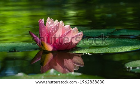 Pink water lily or lotus flower Perry's Orange Sunset in garden pond. Close-up of Nymphaea with water drops reflected on green water against sun. Flower landscape with copy space. Selective focus