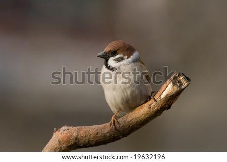 bird - tree sparrow #19632196