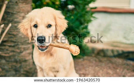 Beautiful and cute golden retriever puppy dog having fun at the park sitting on the green grass. Lovely labrador purebred eating bone Royalty-Free Stock Photo #1963420570