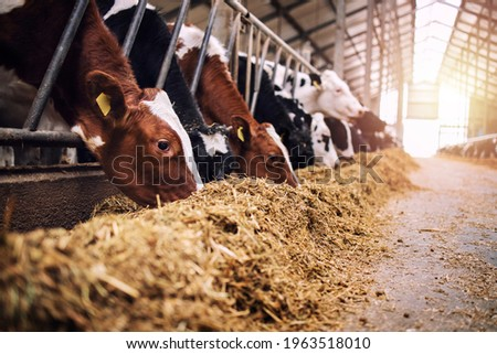 Group of cows at cowshed eating hay or fodder on dairy farm. Royalty-Free Stock Photo #1963518010