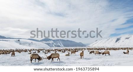 National Elk Refuge, Jackson Hole Royalty-Free Stock Photo #1963735894