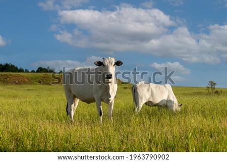 White Nelore cattle grazing on the farm Royalty-Free Stock Photo #1963790902