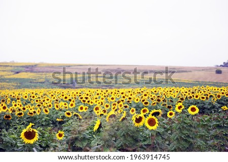 Stunning field of yellow sunflowers in a country rural setting in Darling Downs, Queensland, Australia Royalty-Free Stock Photo #1963914745