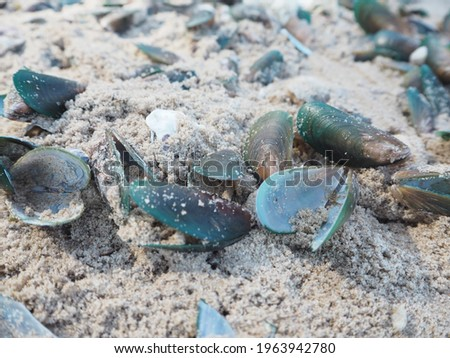 On the white sand, there are scrap Mussels that have already been eaten. The shell is green in colour, much like the insect's wings. When exposed to sunlight, it frequently reflects a lovely picture.
