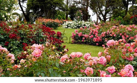 Rose garden.  Beautiful display of roses in a large garden setting. Royalty-Free Stock Photo #1963971895