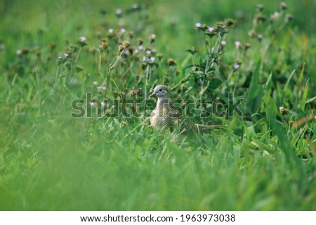 a Picture of Dove Bird in the Grass