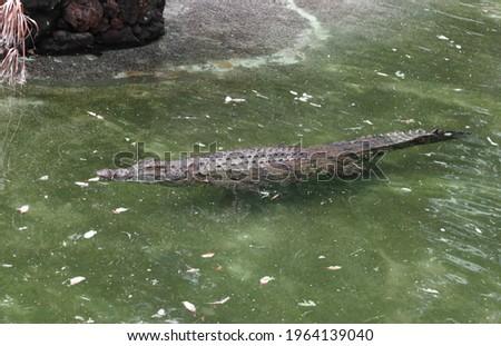 picture of a crocodile in fuerteventura