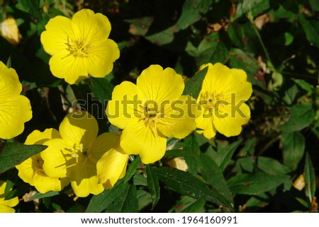 A close up of yellow flowers of evening primrose (Oenothera biennis, evening star, sundrop, suncup) in the garden  Royalty-Free Stock Photo #1964160991