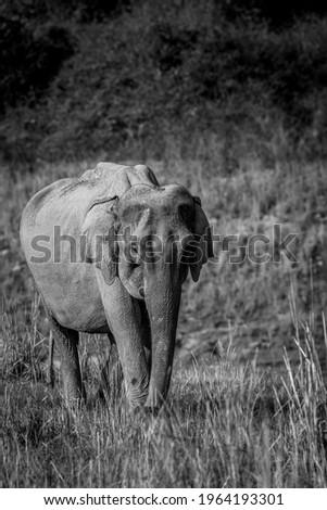 wild asian elephant or tusker walking head on in black and white at dhikala zone of jim corbett national park uttarakhand india - Elephas maximus indicus Royalty-Free Stock Photo #1964193301