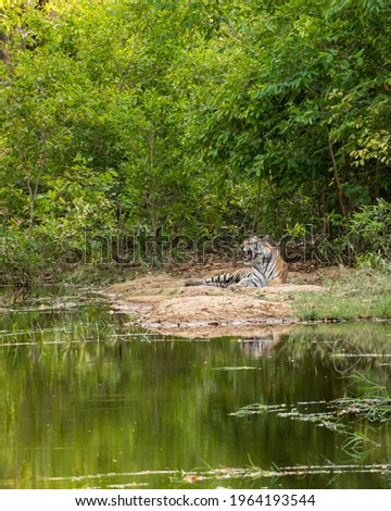 habitat image of wild royal bengal male tiger with reflection in water in natural scenic environment at bandhavgarh national park or tiger reserve madhya pradesh india - panthera tigris tigris Royalty-Free Stock Photo #1964193544