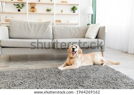 Man's Best Friend. Portrait of healthy domestic animal lying on the floor carpet in living room at home. Adorable calm dog resting near sofa, free copy space. Happy Canine Concept. Royalty-Free Stock Photo #1964269162